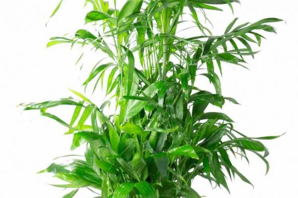 Houseplants_BambooPalm_3gal_1024x1024